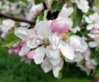 Apfelbaumbluete, Malus, domestica