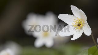 Anemone / Buschwindröschen