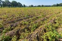 Dried plants on dutch potato field in summer
