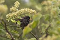 Darwin finch Small Ground Finch (Geospiza fuliginosa), Floreana  Island, Galapagos Islands, Ecuador