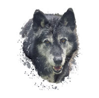 Timber Wolf watercolor illustration