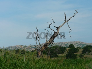 Leafless bent tree by the roadside at the Wichita Mountains in Oklahoma.