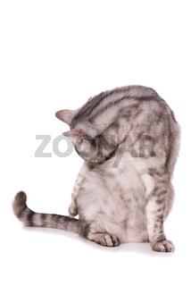 Getigerte Katze putzt sich