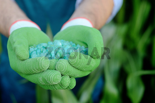 Farmer hold fertilizers in his hands with corn stems at background. Plants care and feeding concept