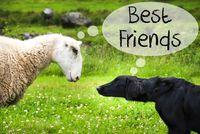 Dog Meets Sheep, Text Best Friends