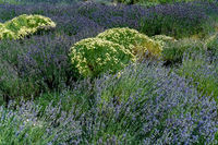 purpel and white flower bed with lavender and olive herb