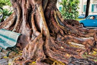 Riesige Wurzel von einem alten Baum in Reggio di Calabria