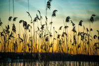 beautiful sunset with grasses in foreground at the river Havel