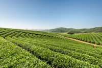 tea plantations on a sunny morning