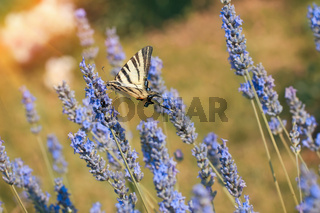 A yellow swallowtail butterfly