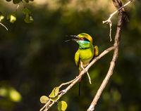 Uda Walawe NP - Green Bee Eater