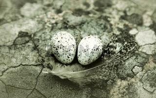 white Wagtail's nest (Motacilla alba) under stone
