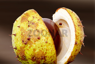 Chestnut with opened cup