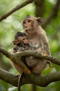 Long-tailed macaque nurses baby sitting in tree