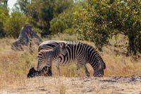 zebra foal Botswana Africa wildlife safari