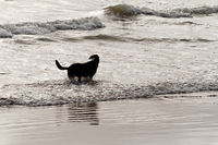Playing dog on the beach - silhouette photo