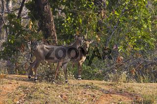 Neelgai female with calf, Bandhavgarh Tiger Reserve, Madhya Pradesh, India