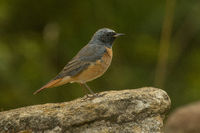 Juvenile male common redstart