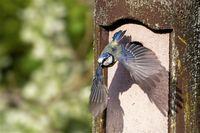 blue tit at the nesting box