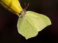 common brimstone on Lent lily