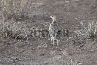 Two-banded Courser that stands among dry grass in the savanna in the dry season