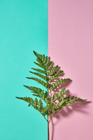 Fresh branch of fern on a double pink-green background with space for text. Natural background for postcard. Flat lay