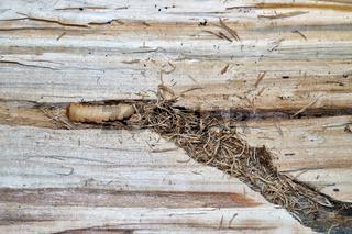 Larve eines Großen Pappelbock