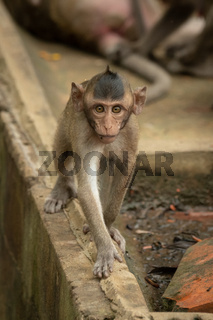 Baby long-tailed macaque on wall approaches camera