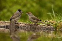 Quarreling couple of Eurasian blackcaps