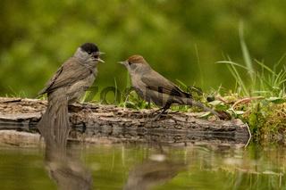Streitendes Paar von Mönchsgrasmücken