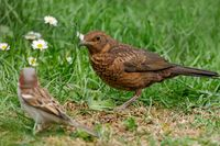 juvenil blackbird and house sparrow