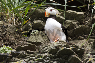 Horned puffin sitting on a rock ledge on the slope of a coastal cliff