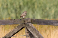 LittLe Owl sit on a fence
