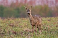 Roe deer doe in winter coating at sunrise with warm color in springtime.