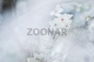 Nahaufnahme weiß-pinker Schlehenblüten im Frühling
