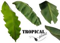 Tropical Banana Palm Leaves Set