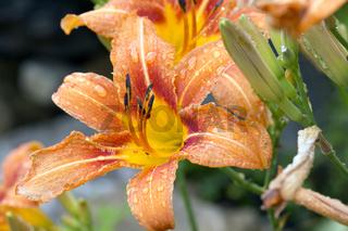 Regentropfen auf einer Taglilie (Hemerocallis) im Garten