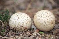 Common earthball