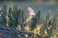 little owl on a branch