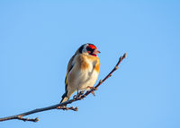 European goldfinch sitting on the branch of a tree