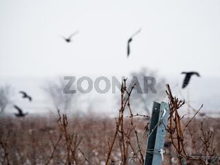 Krähen im Winter im Weingarten