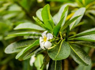 tropical white plumeria flower