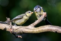 Blue tit with brancher
