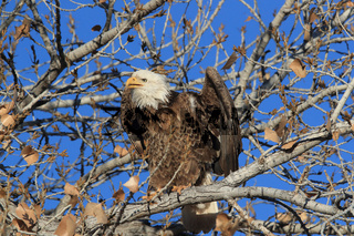Bald Eagle, Haliaeetus leucocephalus Bosque del Apache National Wildlife Refuge New Mexico