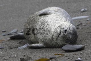 Harbor seal lying on a sandy beach that sleeps