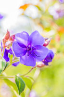 tibouchina urvilleana flower