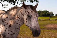 White horse with black dots portrait