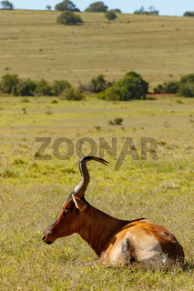 Red Hartebeest lying in the grass