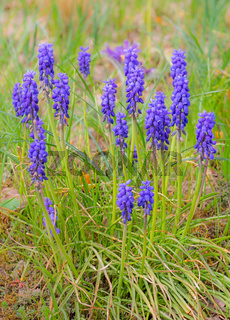 Purple muscari flowers