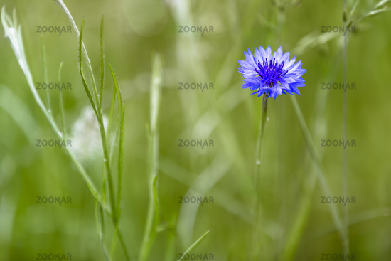 Blühende blaue Kornblume (Cyanus segetum) auf einer Wiese